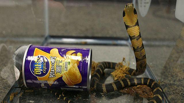 Stati Uniti, serpenti nascosti tra le patatine: un arresto
