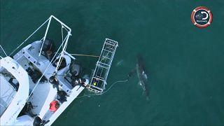 مايكل فيلس يتحدى أسماك القرش الأبيض