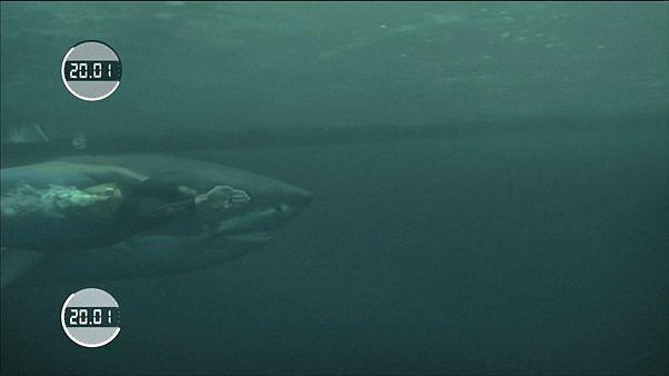 Phelps contra Tiburón Blanco