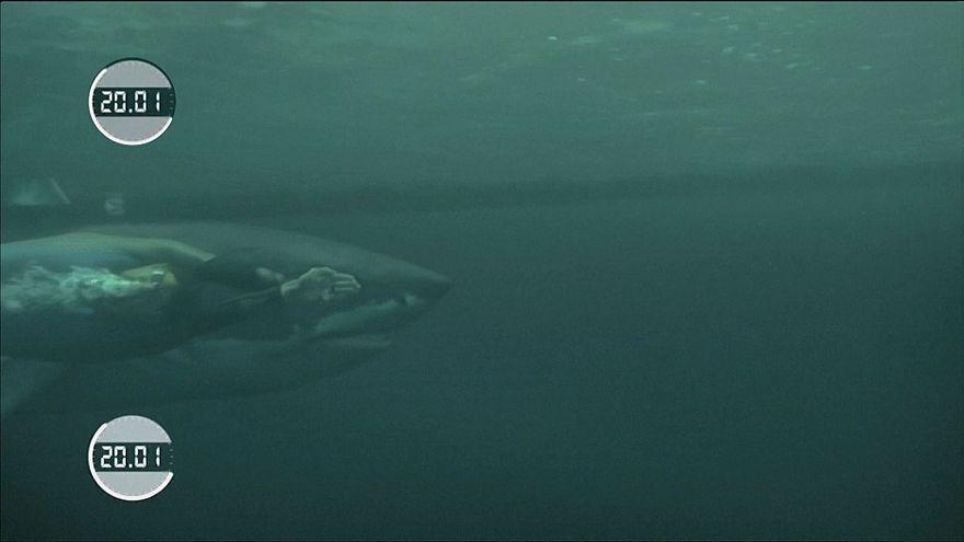 Legyőzte a fehér cápa Michael Phelps úszót