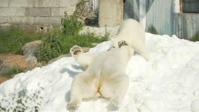 الثلج المنعش لدببة القطب في فنلندا