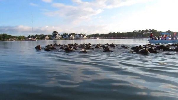 سباحة البوني، طراز سباحة أمريكي