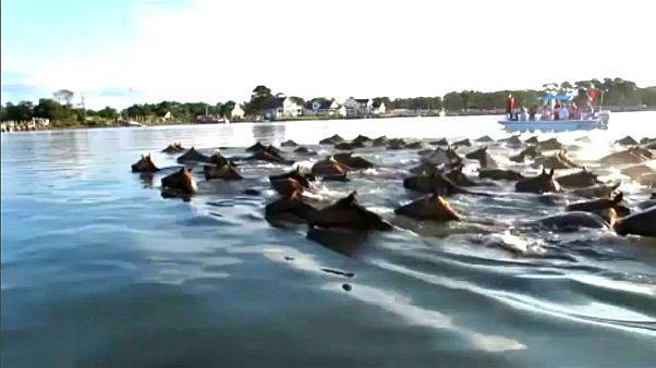 Festival de póneis nadadores na Virgínia