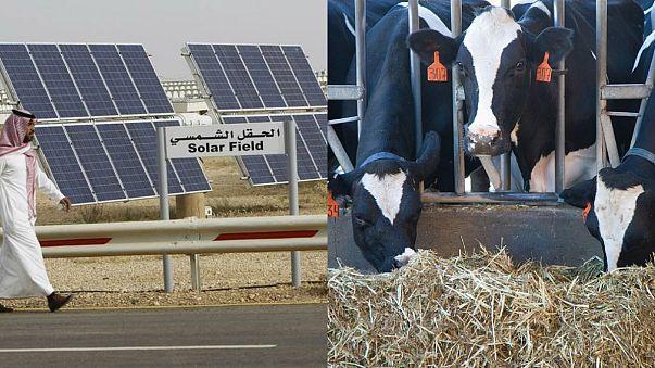 شركة سعودية تسعى لتوليد الطاقة من روث الأبقار