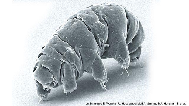 Le tardigrade, l'animal qui pourrait survivre à la fin des temps