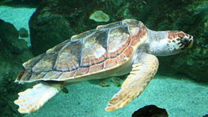 شاهد: صغار السلاحف تخرج للاستجمام في شواطىء تركيا