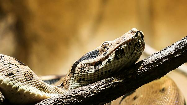 Woman calls 911 with boa constrictor 'stuck to her face'