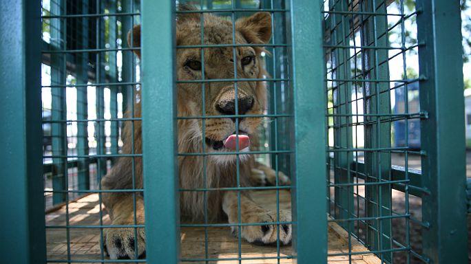 Suriye'de savaş mağduru hayvanlar Türkiye'ye getirildi