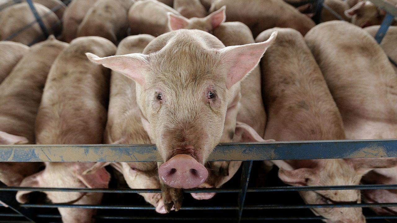 Image: Hogs