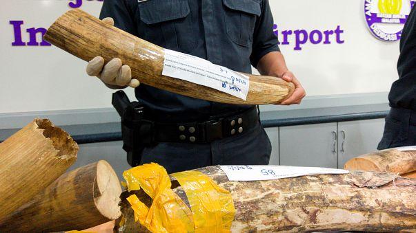 Malasia: altro maxi sequestro di avorio e squame di pangolino proveniente dall'Africa