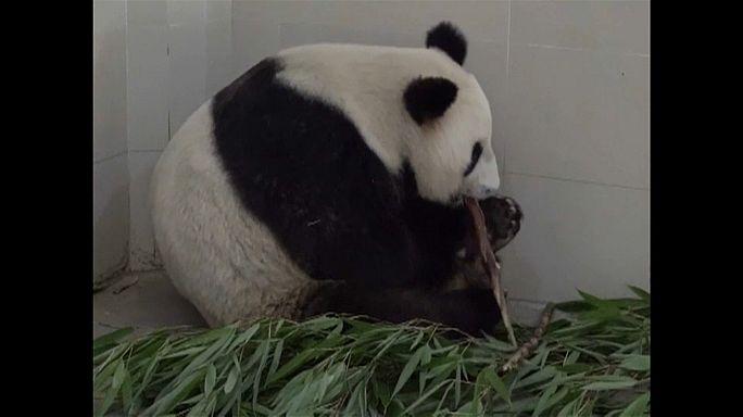 Watch: China's oldest panda mom just had twins