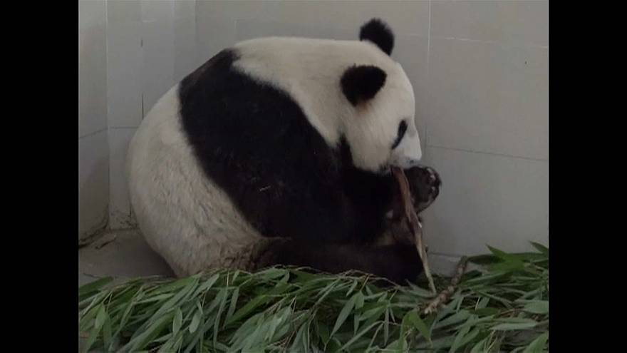 Watch: China's oldest panda mom just had twins
