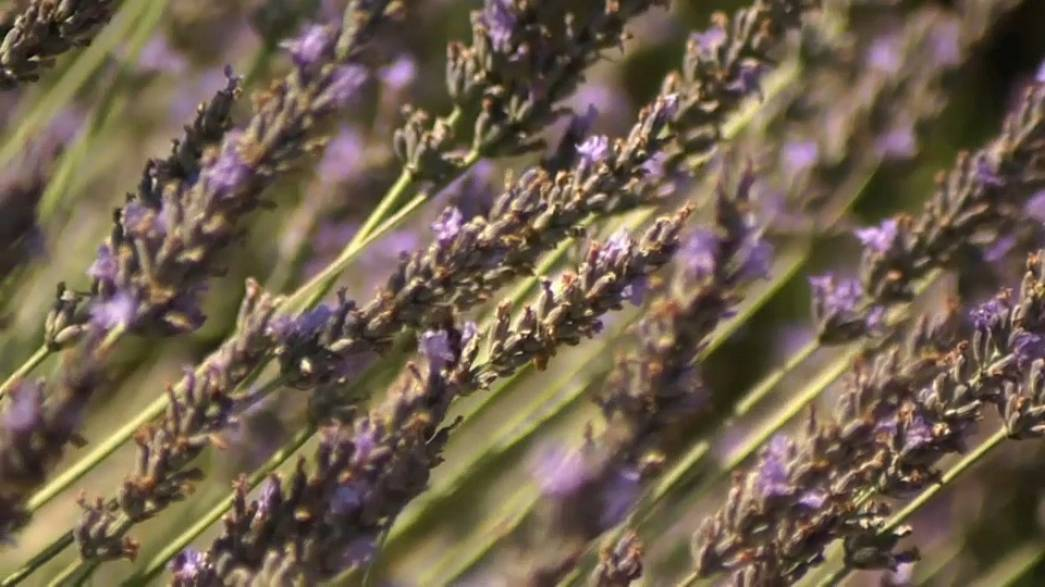 Provence lavender under threat from climate change