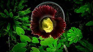 """""""Flor-cadáver"""" floresce em Jardim Botânico na Escócia"""