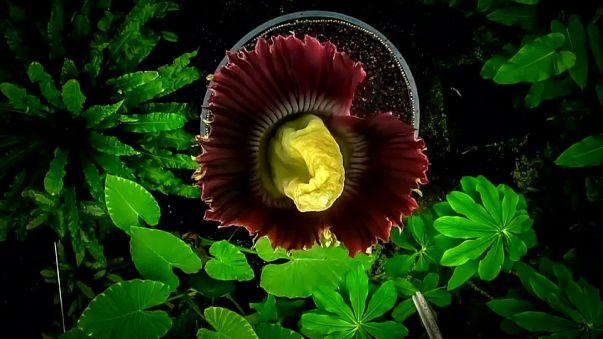 'Rothadó hússzagú' virág Edinburgh új sztárja
