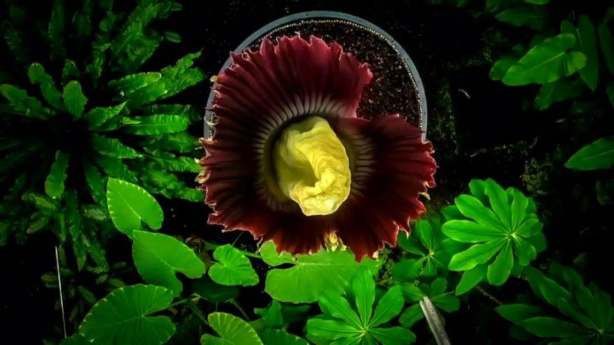 """La """"flor cadáver"""" de Edimburgo atrae a cientos de visitantes"""