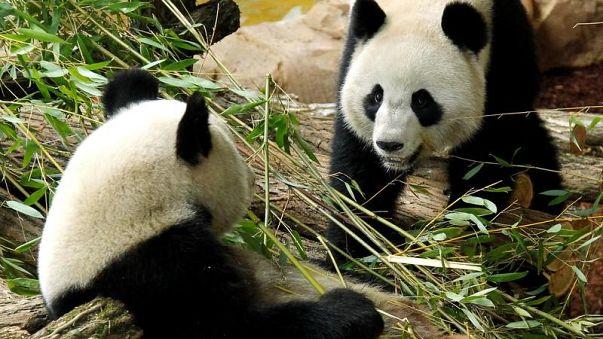 باندا صينية تلد توأمين في فرنسا