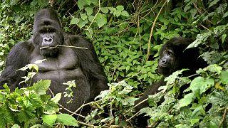 Orphaned gorillas strike a pose in park ranger's selfie