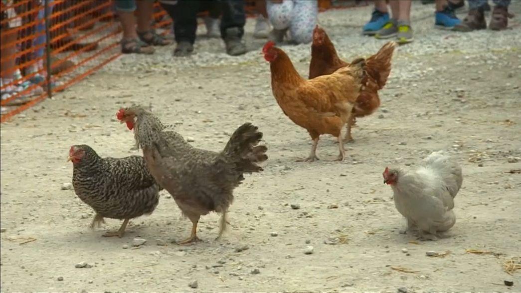 """شاهد: """"سباق الدجاج العالمي"""" في بريطانيا"""