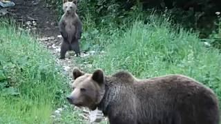 Bear encounters in Romania