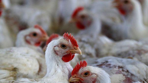 التخلص من الدجاج في هولندا بسبب مخاوف تلوث البيض