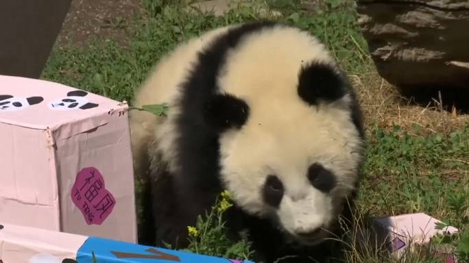 Pandawunder in Wien feiert Geburtstag