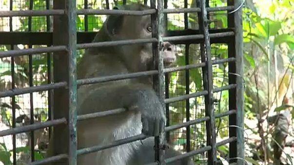Indonesien: Armee gegen Affenplage