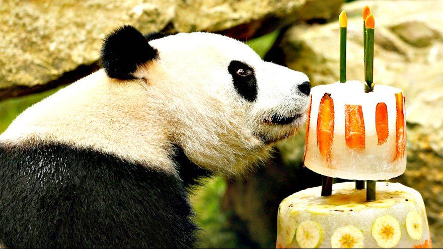 Jardim zoológico canta parabéns a pandas gigantes