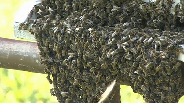 Romania hit by plague of wasps