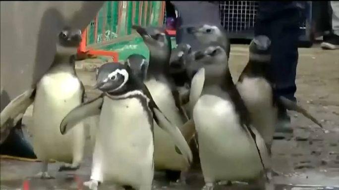 Argentinien: Pinguine ausgewildert