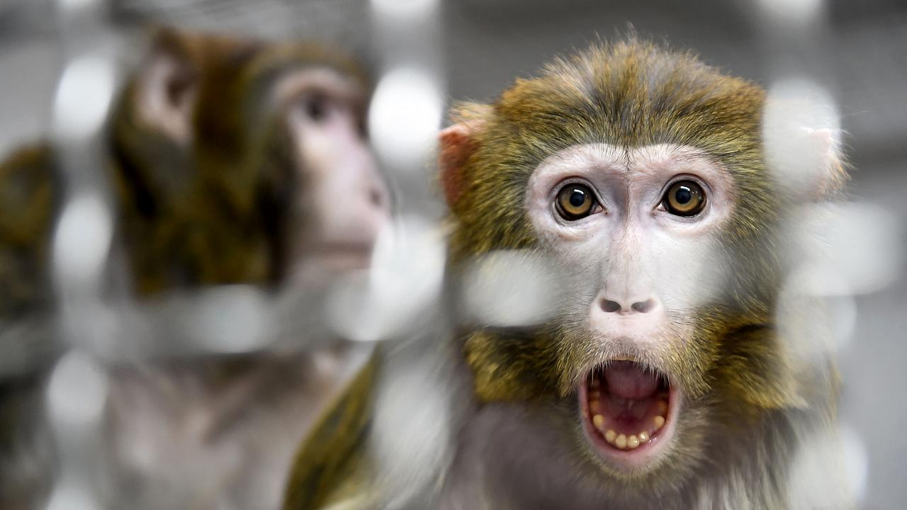 Image: A Rhesus macaque that was rescued from a research laboratory in a qu