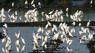 الفلبين تحذر من قتل طيور مهاجرة بعد تفشي فيروس إنفلونزا الطيور