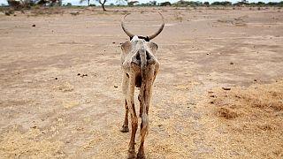 Sécheresse en Éthiopie : 2 millions de bêtes mortes cette année