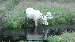 Rare white moose takes a summer dip