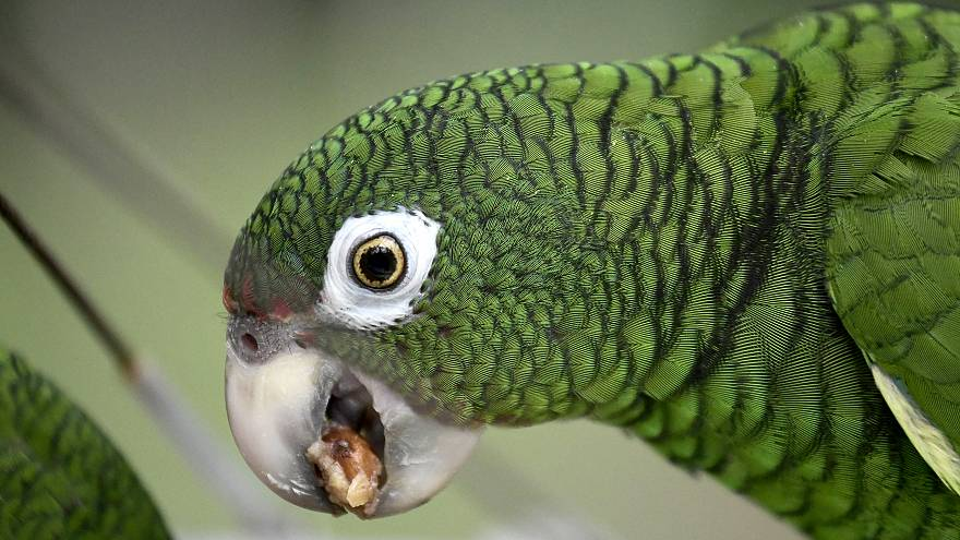 Parrot taken into custody by police in Brazil for trying to warn drug dealers of raid
