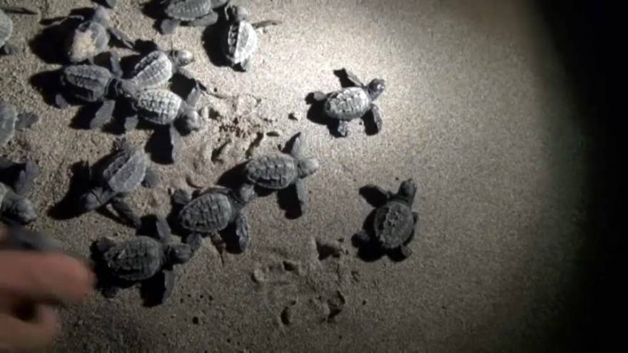 Türkei: Zeit der Babyschildkröten