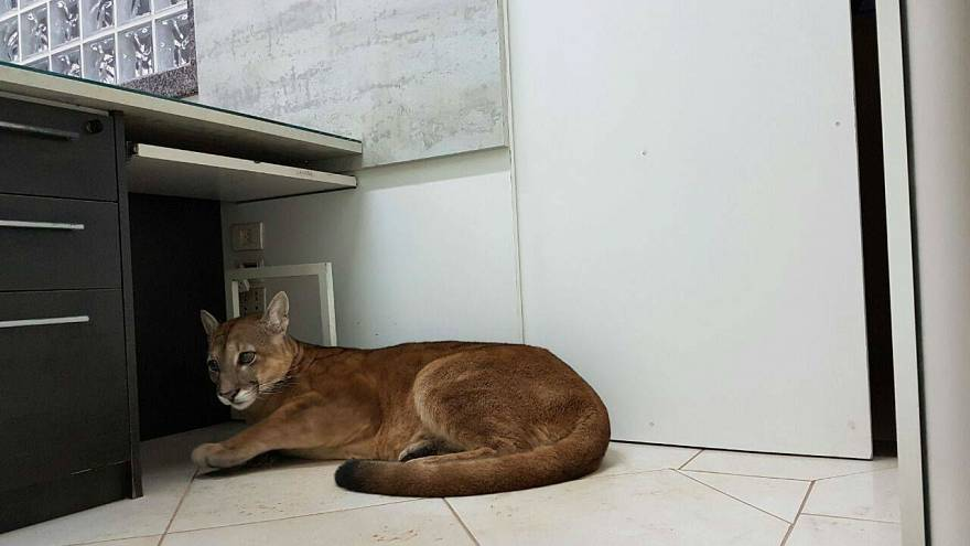 Wild puma found sheltering in an office in Brazil