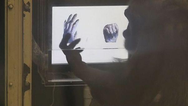 Χιμπατζήδες παίζουν «πέτρα, ψαλίδι, χαρτί»!