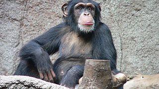 """Los chimpancés, capaces de jugar a """"piedra, papel o tijera"""""""