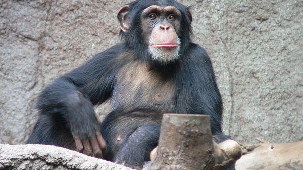 Schere, Stein, Papier? Schimpansen zeigen wie es funktioniert