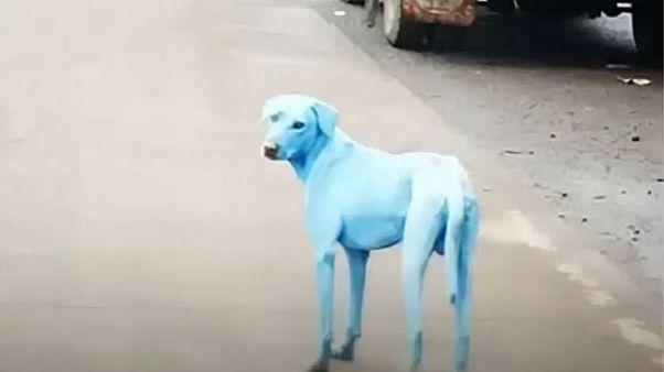 Hindistan'daki mavi köpekler halkı endişelendirdi