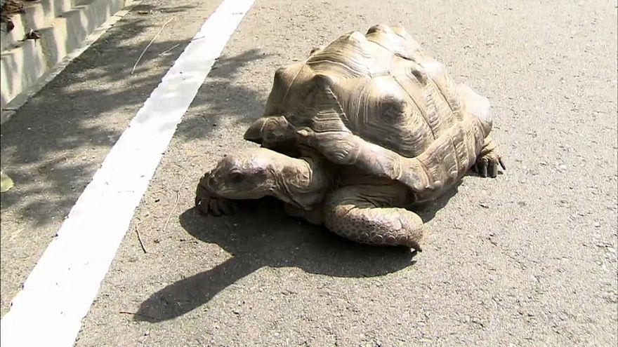 55 Kilo Schildkröte Abuh ausgebüxt, aber...