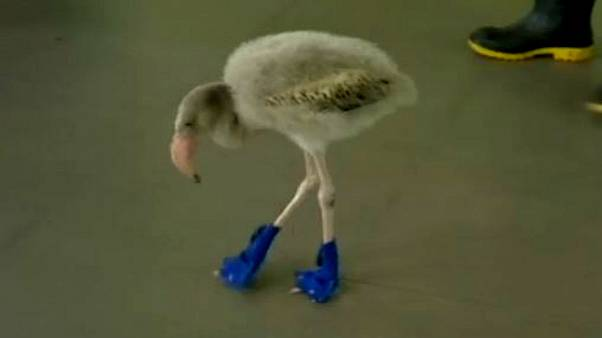 Baby flamingo takes blue booties in his stride
