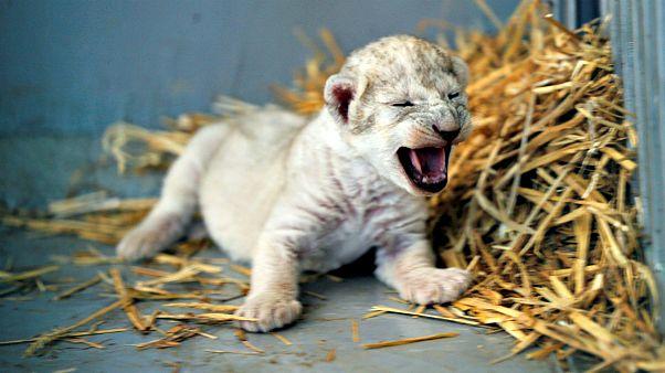 A szíriai háborúból kimentett oroszlán kölyke [FOTÓK]