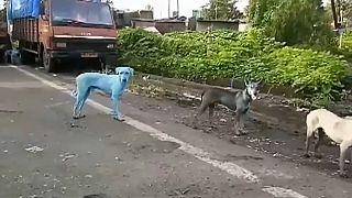 بالفيديو: كلاب زرقاء في شوارع الهند