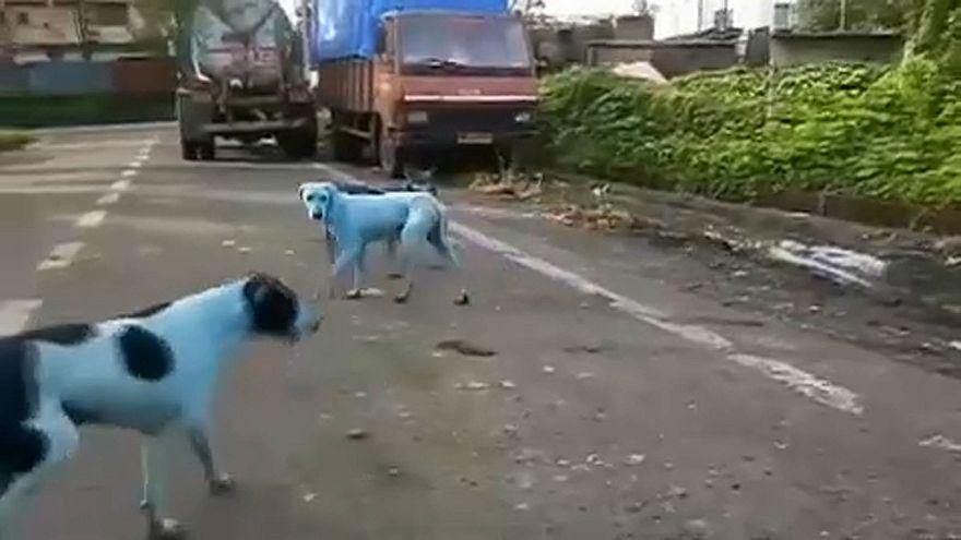 Des chiens errants réapparus bleus en Inde