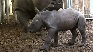 Mamas ganzer Nashorn-Stolz