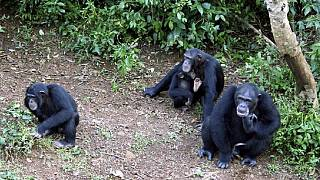 Second Sierra Leone landslide threatens famous chimpanzee sanctuary