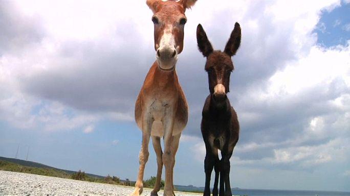 Zypern und die Esel-Plage