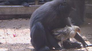 Un mono y una gallina se hacen inseparables
